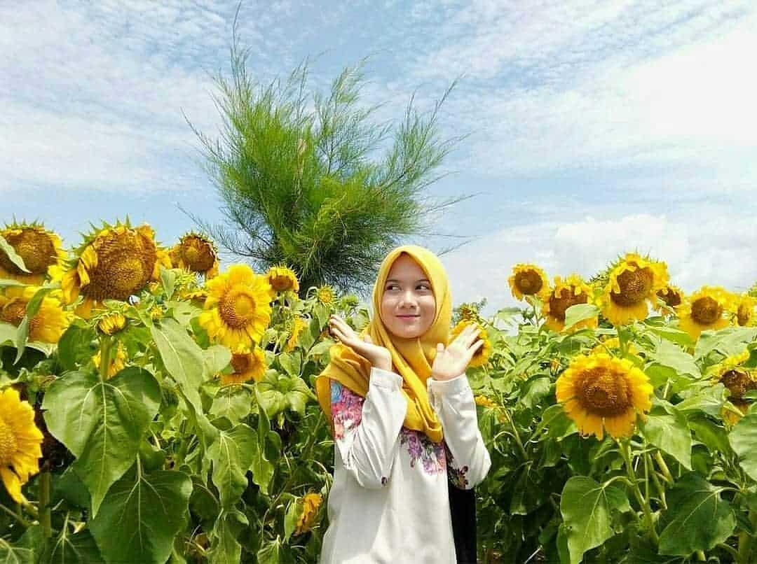 Kebun Bunga Matahari Pantai Glagah