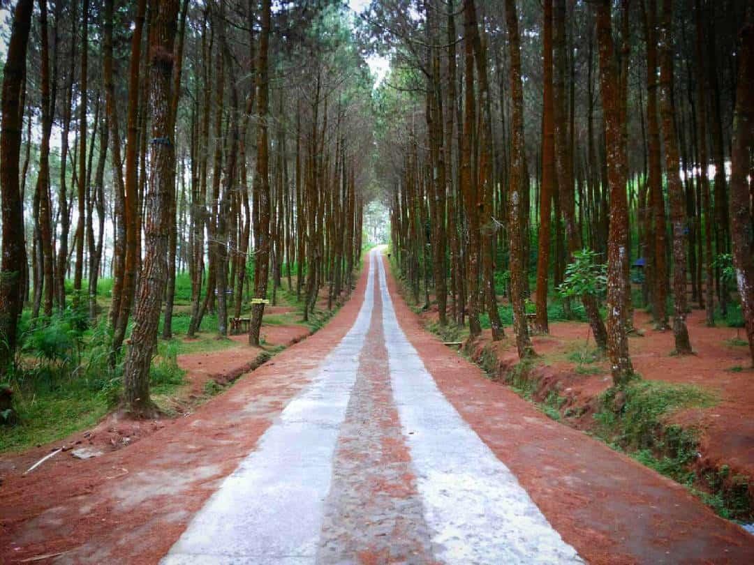 Pinus Kragilan