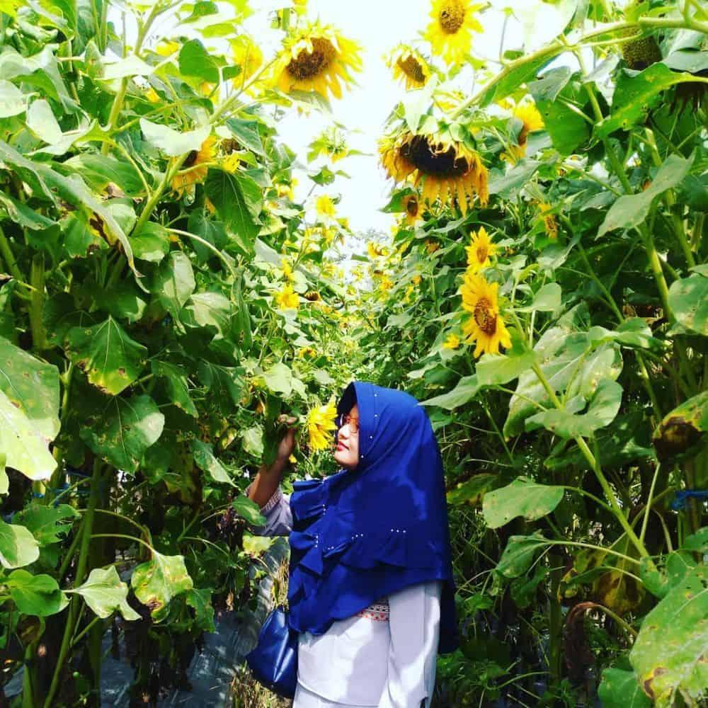Taman Bunga Matahari Hello Garden
